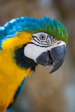 Parrot Blue Gold Macaw. Blue Gold Macaw, breeds in forest and woodland of Tropical South America from Trinidad and Venezuela south of Brazil, Bolivia, Colombia Stock Images