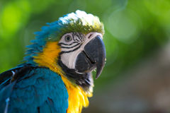 Parrot Blue Gold Macaw. Blue Gold Macaw, breeds in forest and woodland of Tropical South America from Trinidad and Venezuela south of Brazil, Bolivia, Colombia Stock Image