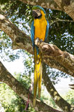 Parrot Blue Gold Macaw Stock Images