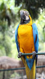 Parrot with blue wings. Large yellow parrot with blue wings Royalty Free Stock Image
