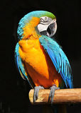 Parrot blue yellow Royalty Free Stock Images