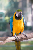 Parrot blue yellow. With Background Royalty Free Stock Photos