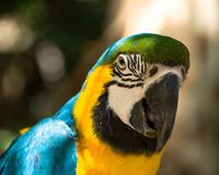 Parrot. Blue yellow bird beak Stock Photos