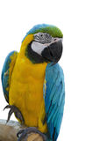 Parrot - Blue-and-Yellow Macaw Stock Image
