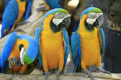 Parrot - Blue-and-Yellow Macaw Royalty Free Stock Images