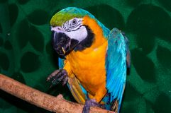 Parrot Blue-and-yellow Macaw or Ara ararauna Royalty Free Stock Photography