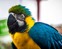 The parrot, blue-and-yellow macaw Stock Images