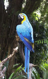 Parrot blue-and-yellow macaw. Royalty Free Stock Image