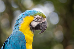 Parrot blue and yellow macaw Royalty Free Stock Photos