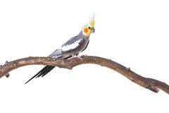 Parrot on the branch Royalty Free Stock Photos