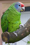 Parrot. A parrot on a branch Royalty Free Stock Photo