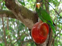 Parrot on a branch . Beautiful royalty free stock photography