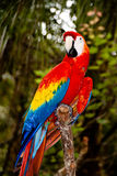 Parrot on a branch Stock Images