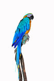 Parrot on a branch Stock Image