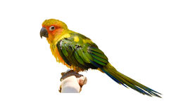 The parrot on branch. Stock Image