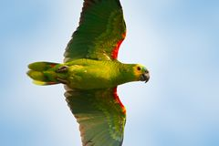 Parrot from Brazil in habitat. Turquoise-fronted amazon, Amazona aestiva, portrait of light green parrot with red head, Costa Rica. Flight bird. Wildlife fly Royalty Free Stock Photo