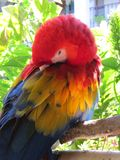 Parrot. Brightly coloured parrot in Costa Rica Stock Photos