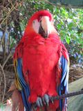 Parrot. Brightly coloured parrot in Costa Rica Stock Images