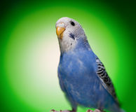 Parrot budgies Stock Photo