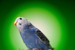 Parrot budgies Royalty Free Stock Image