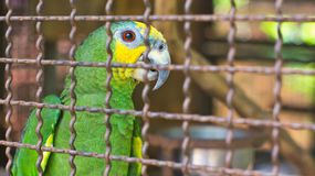 Parrot in a cage Royalty Free Stock Images