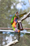 Parrot in cage Royalty Free Stock Photo