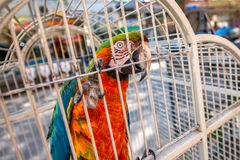 Parrot in the cage Stock Images