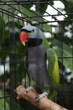 Parrot in a cage royalty free stock photo
