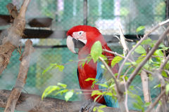 Parrot in cage. Close up of parrot in cage Royalty Free Stock Photos