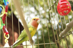 Parrot in a cage Royalty Free Stock Photography