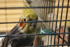 Parrot in a cage. Effect blur on the bars of the cell stock photos