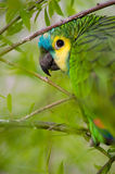 Parrot camouflaged Royalty Free Stock Photo