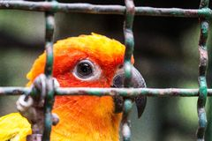 Yellow parrot in. Parrot in the cell Royalty Free Stock Image