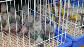 Parrot chicks in cages on pet market. From above birds being kept in small cage on Chatuchak Market in Bangkok, Thailand