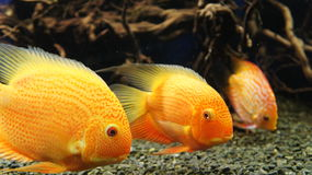 Parrot Cichlid fishes (Bloody Parrot, Parrotfish) Stock Photo