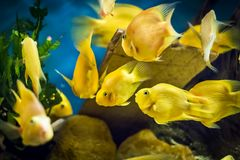 Parrot Cichlid fish in aquarium. Parrot Cichlid - Kolobrzeg aquarium tank Royalty Free Stock Photography