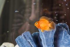 Parrot cichlids swimming in aquarium Stock Photo
