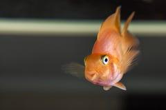 Parrot cichlids swimming in aquarium Stock Images