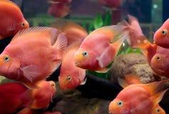 Parrot cichlids swimming in aquarium Stock Photos
