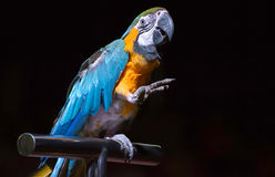 Parrot in the circus Royalty Free Stock Images