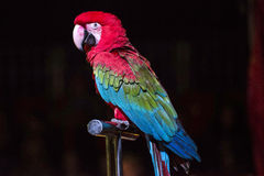 Parrot in the circus Royalty Free Stock Photos