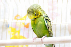 Parrot cleans feathers. In birdcage Stock Images