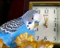 Parrot and clock Stock Image