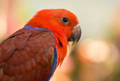 Parrot. Royalty Free Stock Image