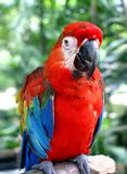 Parrot in close up Royalty Free Stock Photos