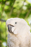 Parrot. Close-up shot of a white parrot Stock Photography