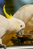 Parrot cockatoo. Royalty Free Stock Photo