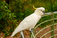 Parrot cockatoo. Stock Image