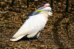 Parrot cockatoo. Stock Photography