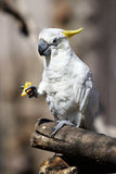 Parrot Cockatoo eats orange Royalty Free Stock Photography